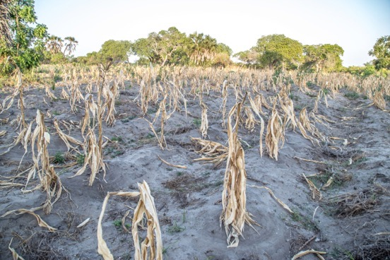 The desiccated remains of a maize crop in Tanzania grown without the drought-resistance gene